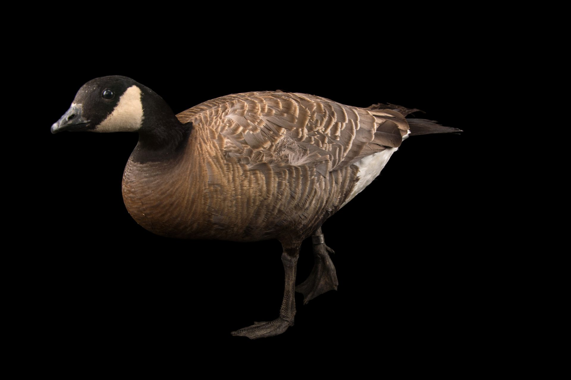 Picture of a male small cackling goose (Branta hutchinsii minima) at Sylvan Heights Bird Park.