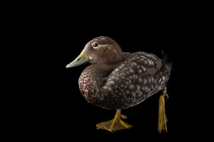 Picture of a flying steamer duck (Tachyeres patachonicus) at Sylvan Heights Bird Park.