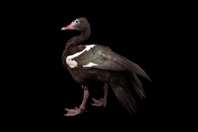 Picture of a spur-winged goose (Plectropterus gambensis) at the Cleveland Metroparks Zoo.