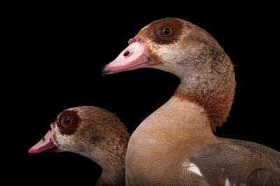Two Egyptian geese (Alopochen aegyptiacus) at the Cleveland Metroparks Zoo.