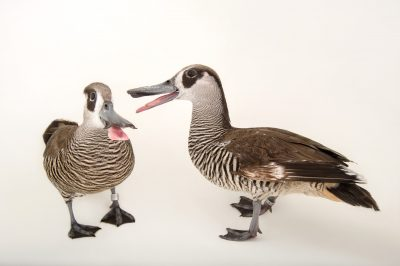 Picture of pink-eared ducks, Malacorhynchus membranaceus, at Sylvan Heights Bird Park.