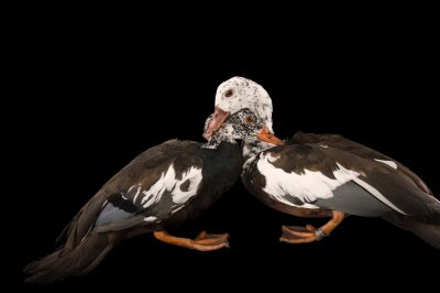 Picture of a male and female white-winged duck, Asarcornis scutulata, at Sylvan Heights Bird Park.