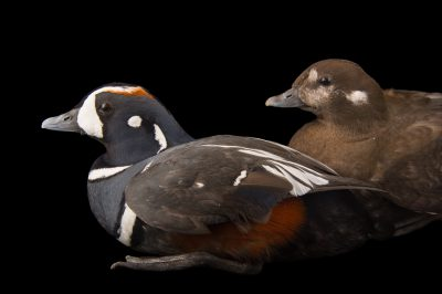 Picture of harlequin ducks, Histrionicus histrionicus, at Sylvan Heights Bird Park.