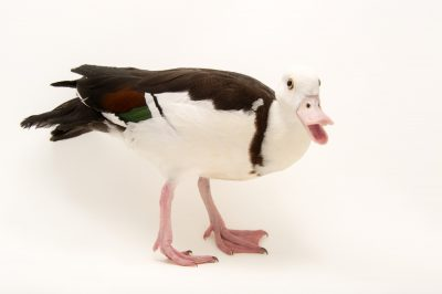 Picture of a Radjah shelduck, Tadorna radjah, at Sylvan Heights Bird Park.