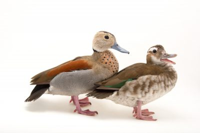 Picture of a male and female ringed teal (Callonetta leucophrys) at Sylvan Heights Bird Park.