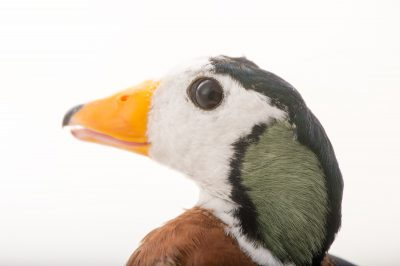 Picture of an African pygmy goose (Nettapus auritus) at Sylvan Heights Bird Park.