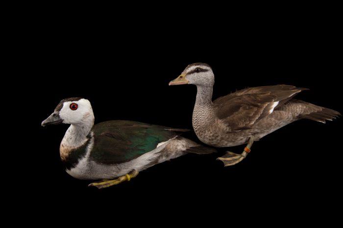 Picture of a male and female cotton pygmy goose (Nettapus coromandelianus) at Sylvan Heights Bird Park.