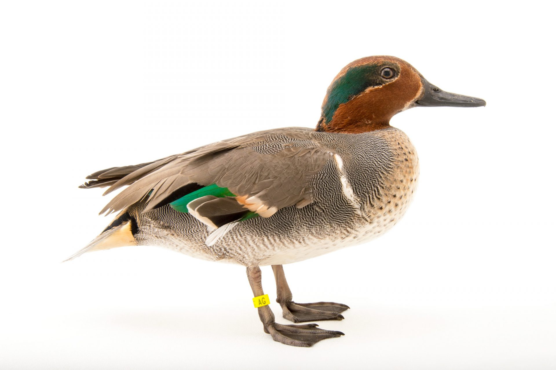 Picture of a green-winged teal (Anas crecca carolinensis) at the Sylvan Heights Bird Park.