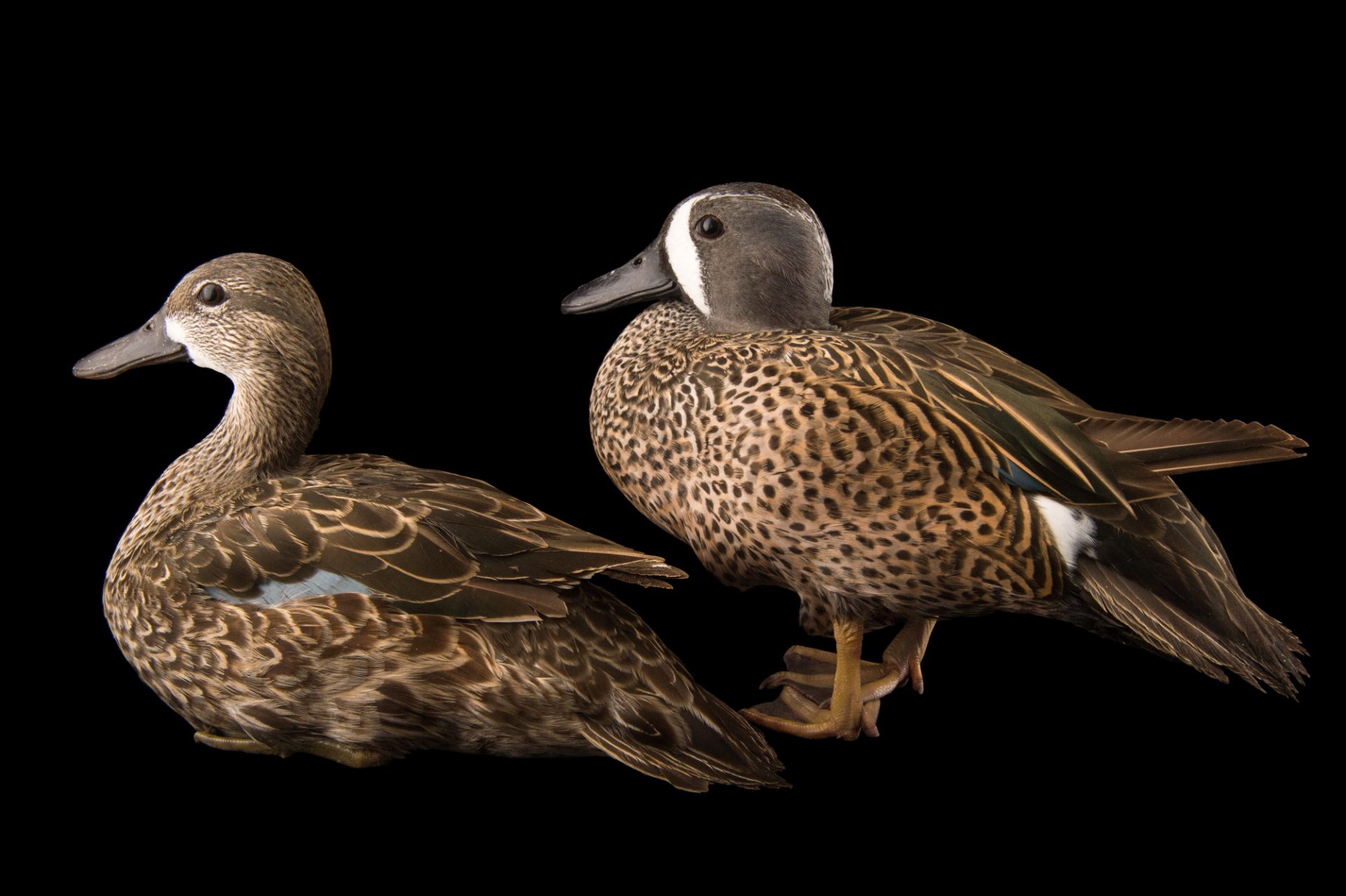 Picture of blue-winged teal (Anas discors) at the Sylvan Heights Bird Park.