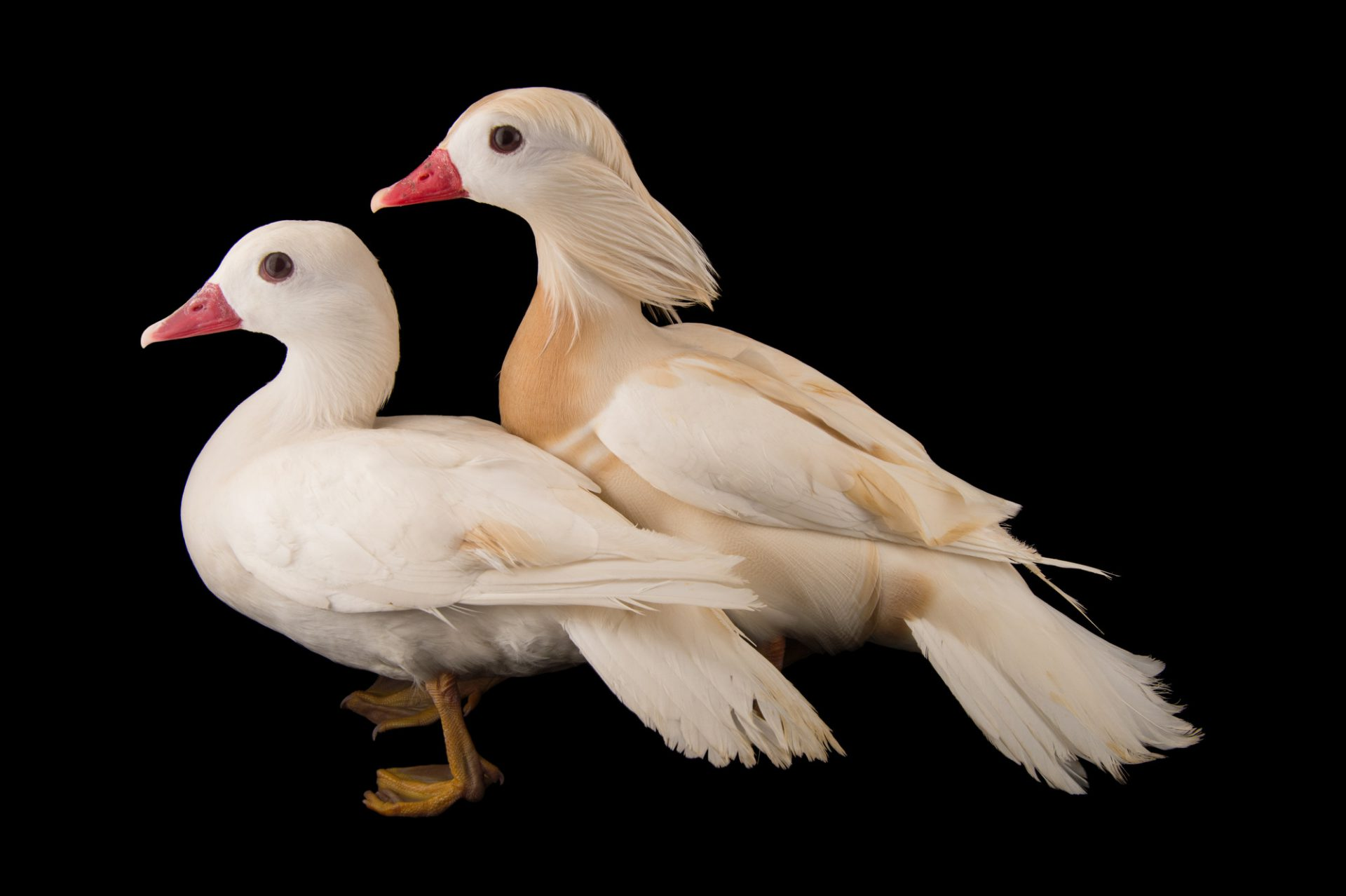 Picture of two blonde morph (luecistic) Mandarin ducks (Aix galericulata) at the Sylvan Heights Bird Park.