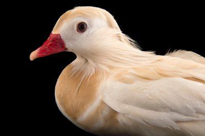 Picture of a blonde morph (luecistic) Mandarin duck (Aix galericulata) at the Sylvan Heights Bird Park.