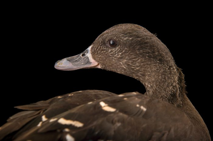 Picture of an African black duck (Anas sparsa) at the Sylvan Heights Bird Park.