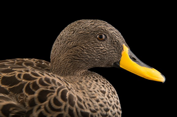 Picture of a yellow-billed duck (Anas undulata) at the Sylvan Heights Bird Park.