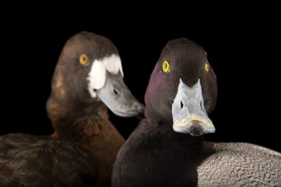 Picture of lesser scaup ducks (Aythya affinis) at the Sylvan Heights Bird Park.