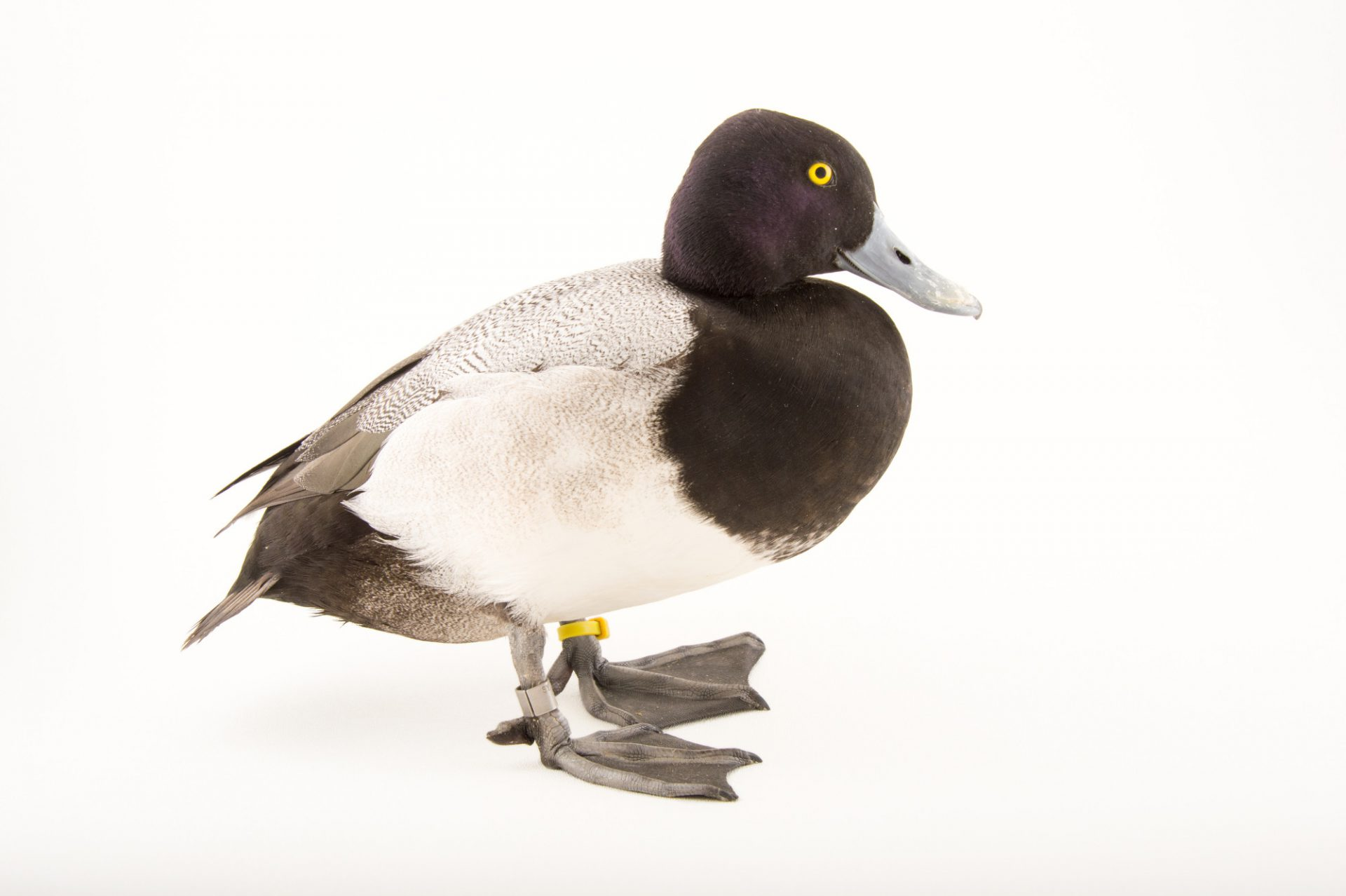 Picture of a lesser scaup duck (Aythya affinis) at the Sylvan Heights Bird Park.