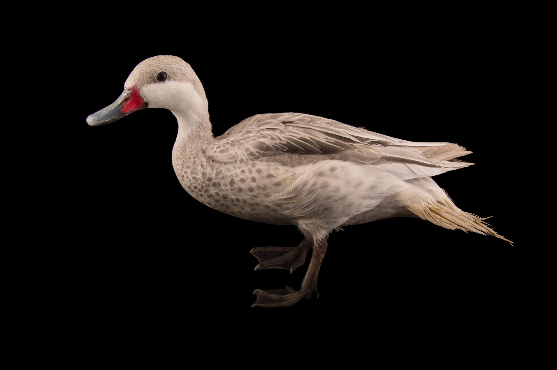 Picture of a leucistic color morph of the white-cheeked pintail (Anas bahamensis) at the Sylvan Heights Bird Park.