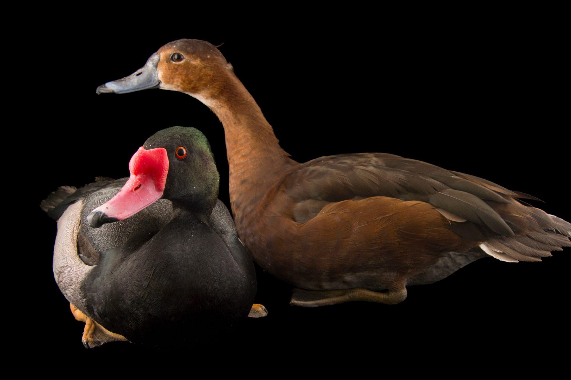 Picture of a rosy-billed pochard ducks (Netta peposaca,) at the Sylvan Heights Bird Park.