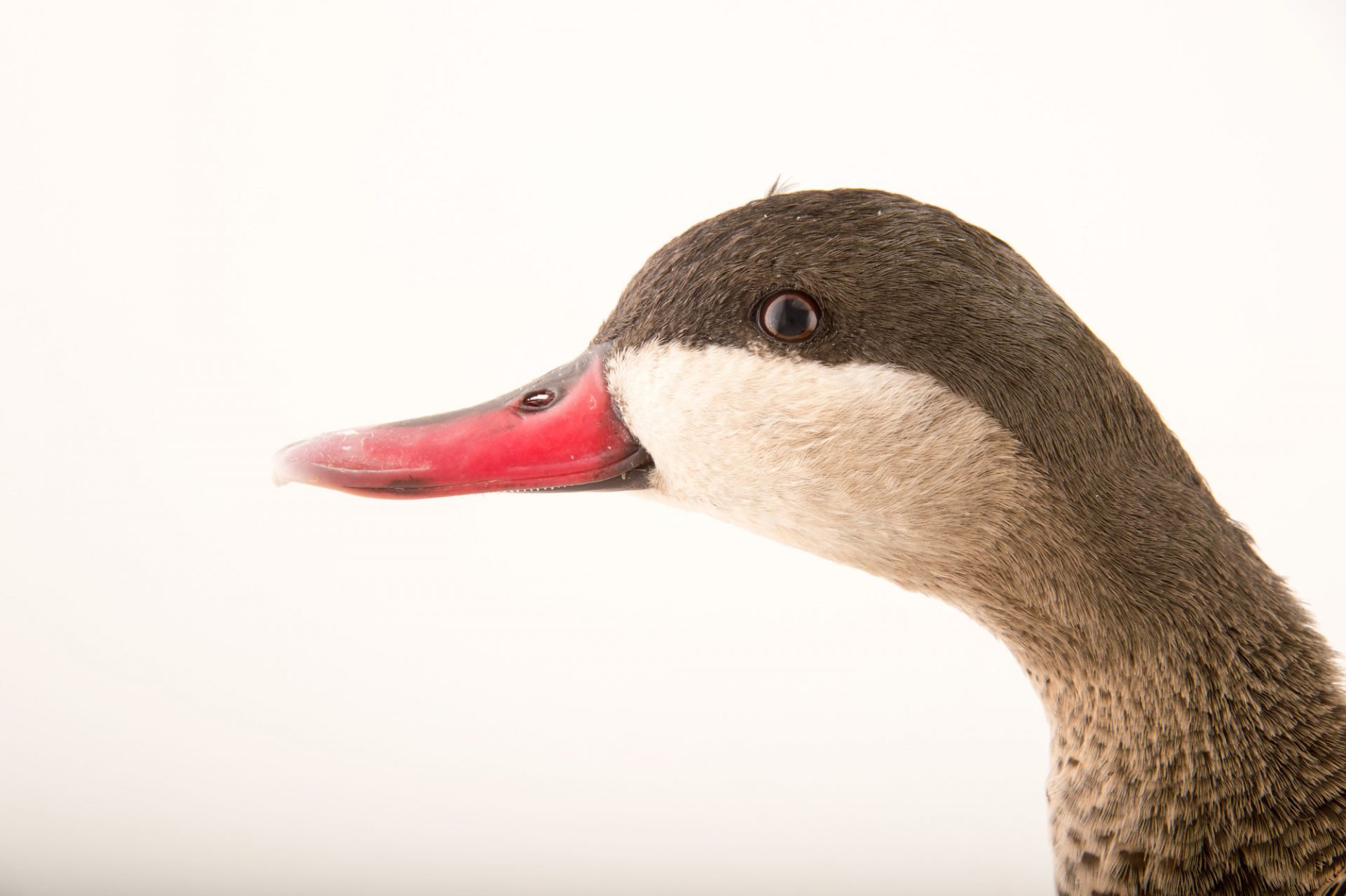 Picture of a red-billed duck (Anas erythrorhyncha) at the Sylvan Heights Bird Park.