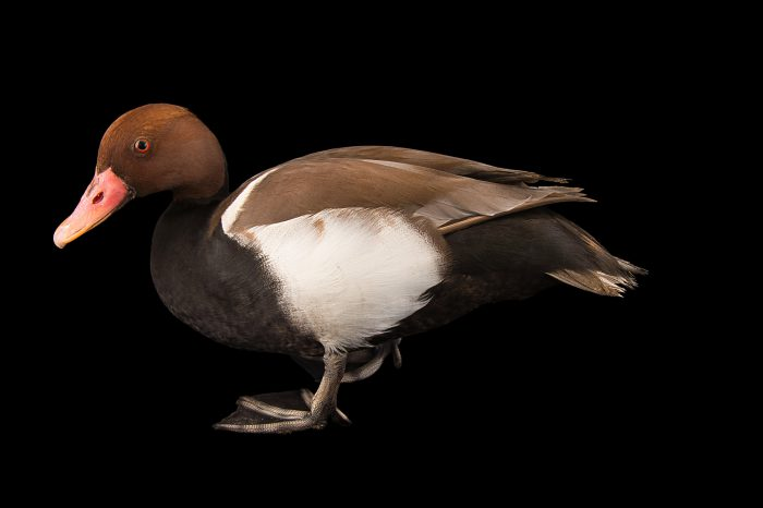 Picture of a male red-crested pochard (Netta rufina) at the Sylvan Heights Bird Park.