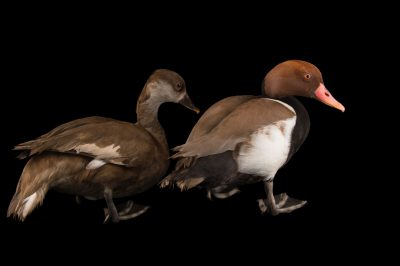 Picture of a male and female red-crested pochard (Netta rufina) at the Sylvan Heights Bird Park.