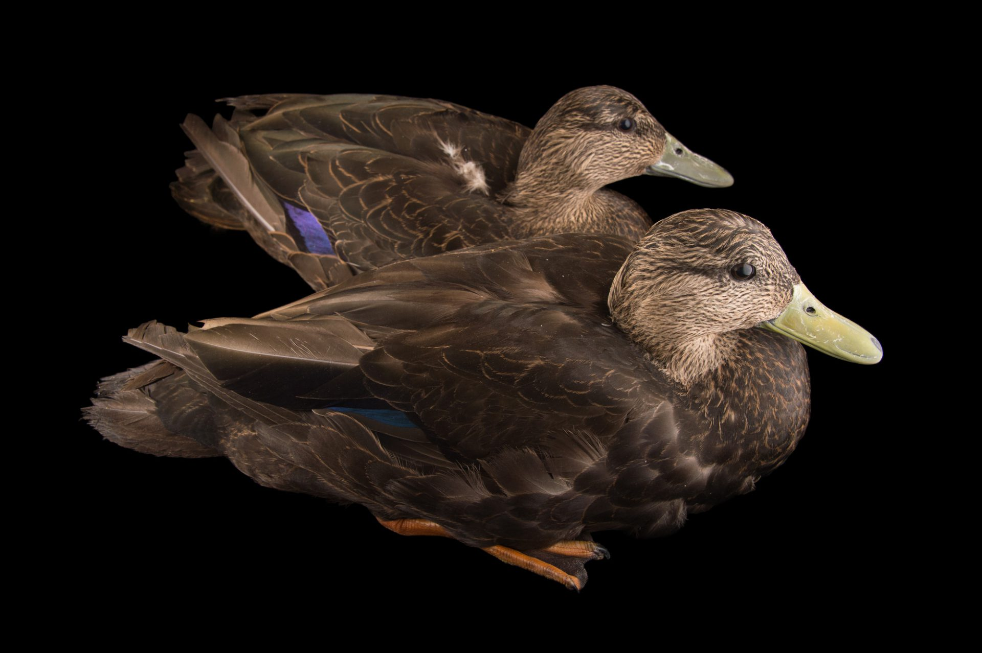 Picture of American black ducks (Anas rubripes) at the Sylvan Heights Bird Park.
