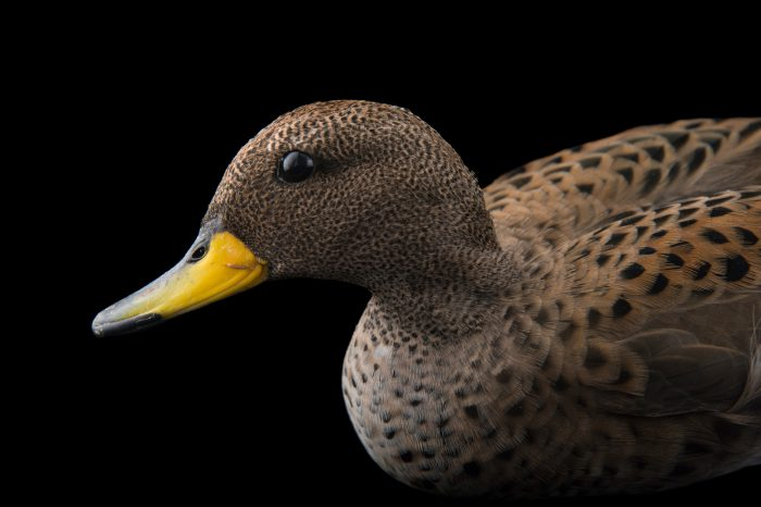 Picture of a male Chilean teal (Anas flavirostris flavirostris) at the Sylvan Heights Bird Park.