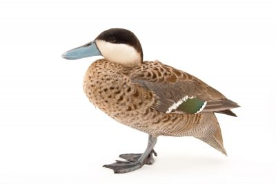 Picture of a male puna teal (Spatula puna) at Sylvan Heights Bird Park.