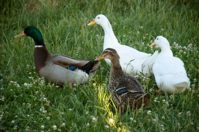 Photo: Ducks waddle through a lawn near Denton, Nebraska.