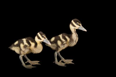 Picture of two-week-old black-bellied whistling ducklings (Dendrocygna autumnalis) at the Dallas World Aquarium.