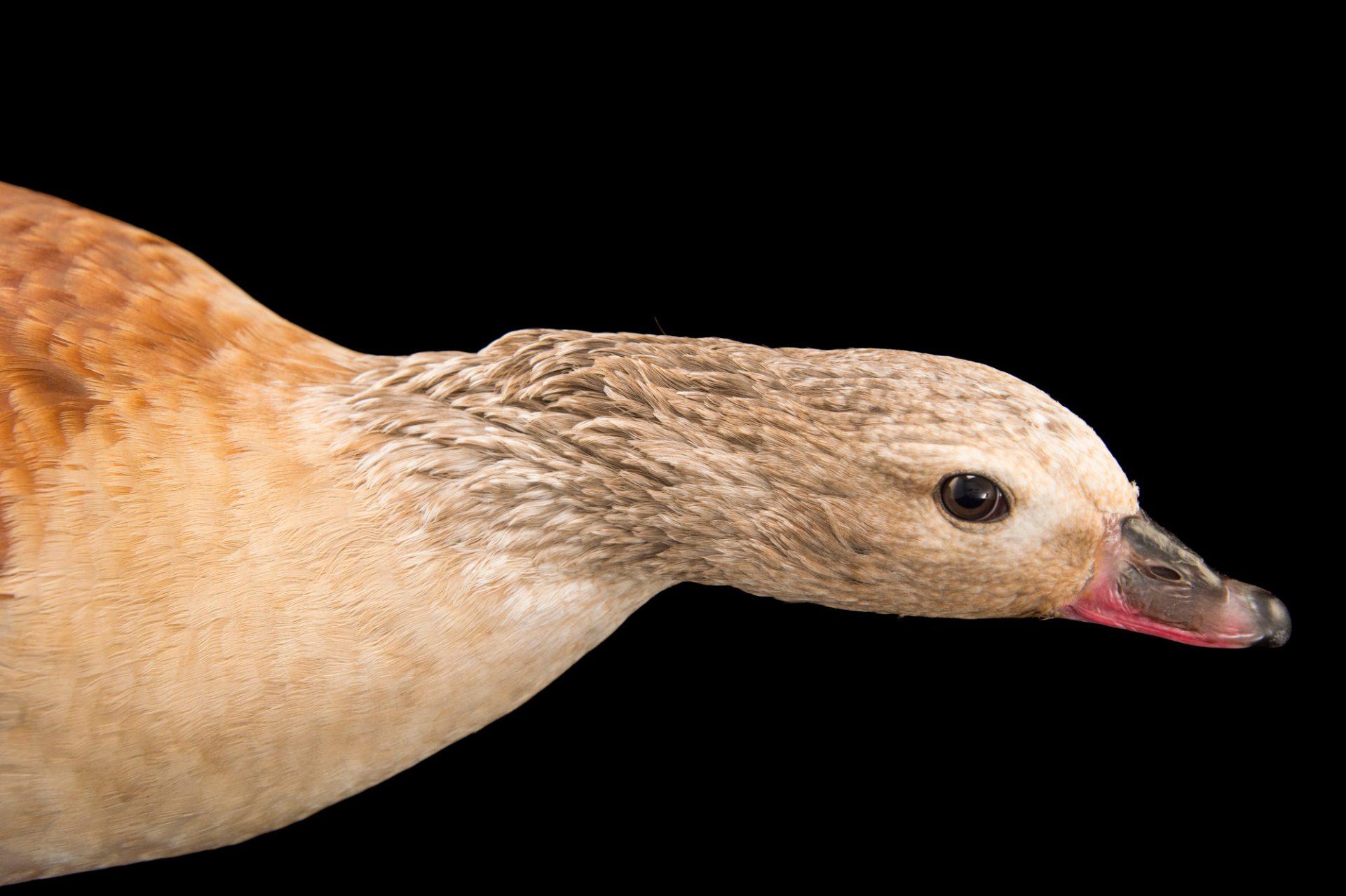Picture of an Orinoco goose (Neochen jubata) at the Dallas World Aquarium.