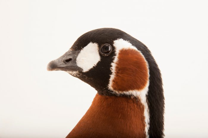 A vulnerable red-breasted goose (Branta ruficollis) at the Sedgwick County Zoo.