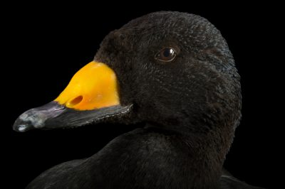 Picture of a black scoter or American scoter (Melanitta americana) at Patuxent Wildlife Research Center.