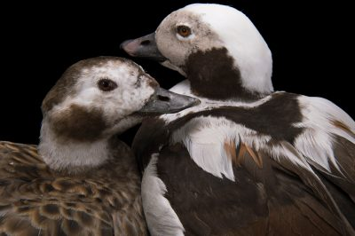 Picture of two vulnerable long-tailed ducks or oldsquaw (Clangula hyemalis) at Patuxent Wildlife Research Center.
