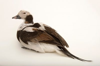Picture of a vulnerable long-tailed duck or oldsquaw (Clangula hyemalis) at Patuxent Wildlife Research Center.