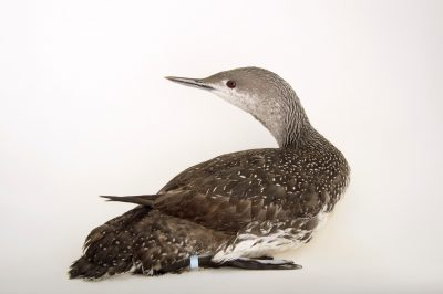 Picture of a red-throated loon or red-throated diver (Gavia stellata) at Patuxent Wildlife Research Center.