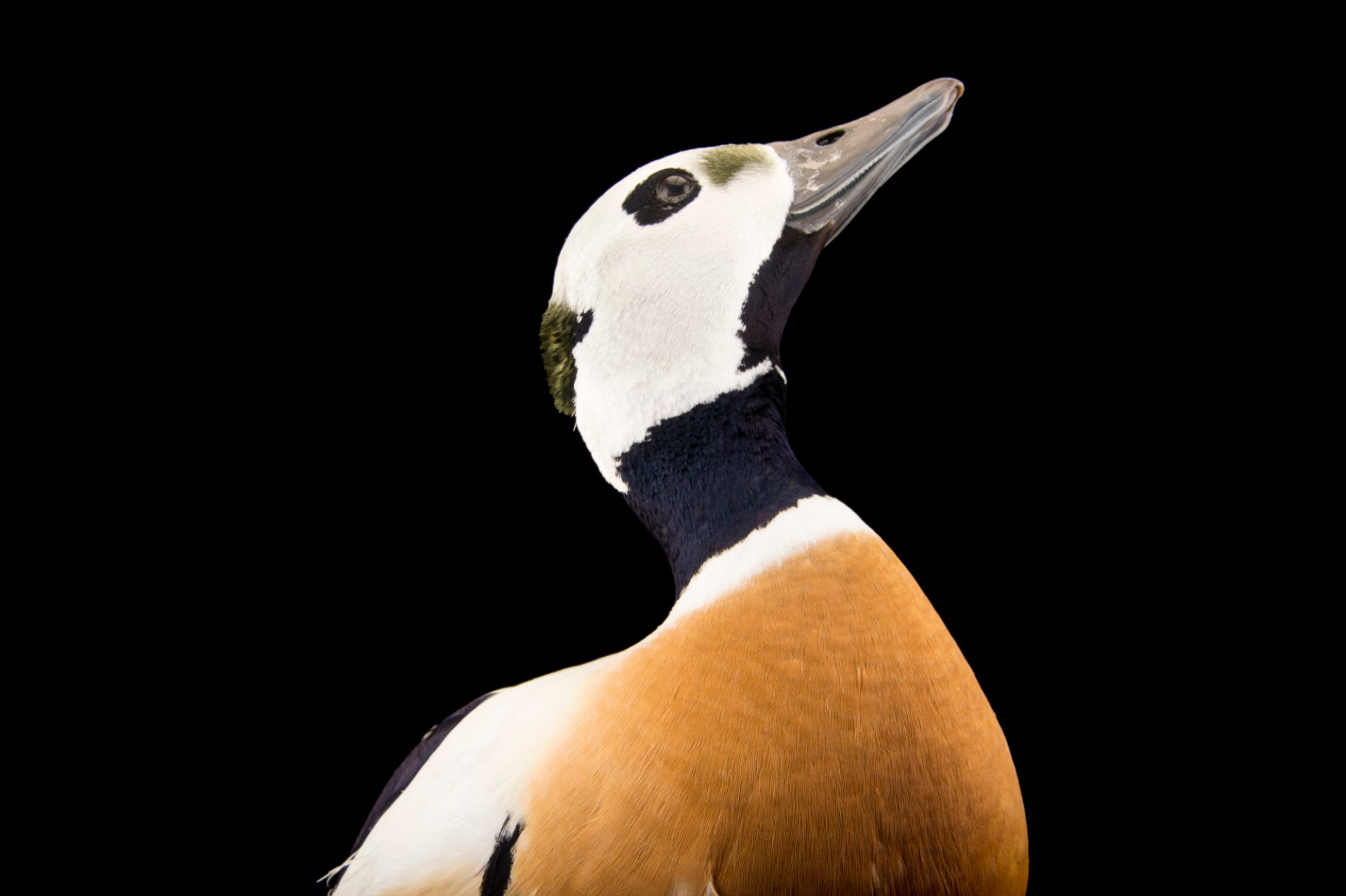 Photo: A vulnerable, federally threatened male Steller's eider (Polysticta stelleri) at the Alaska SeaLife Center.