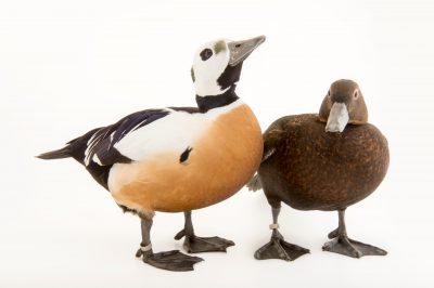 Photo: Vulnerable, federally threatened Steller's eiders (Polysticta stelleri) at the Alaska SeaLife Center.