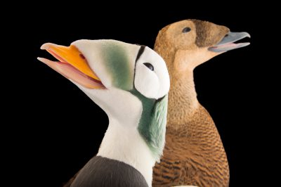 Picture of federally threatened spectacled eiders (Somateria fischeri) at the Alaska SeaLife Center.