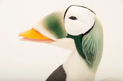 Picture of a federally threatened male spectacled eider (Somateria fischeri) at the Alaska SeaLife Center.