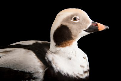 Picture of a vulnerable long-tailed duck (Clangula hyemalis) at the Alaska SeaLife Center.