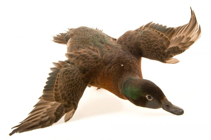 Picture of an endangered Campbell Island teal (Anas nesiotis) at the Kiwi Birdlife Park in Queenstown, NZ.