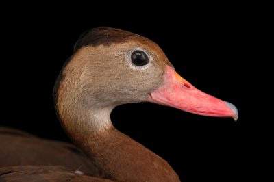 A black-bellied whistling duck (Dendrocygna autumnalis autumnalis) at the Brevard Zoo.