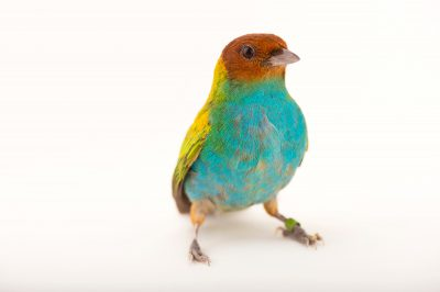 Picture of a bay-headed tanager (Tangara gyrola) at the Houston Zoo.