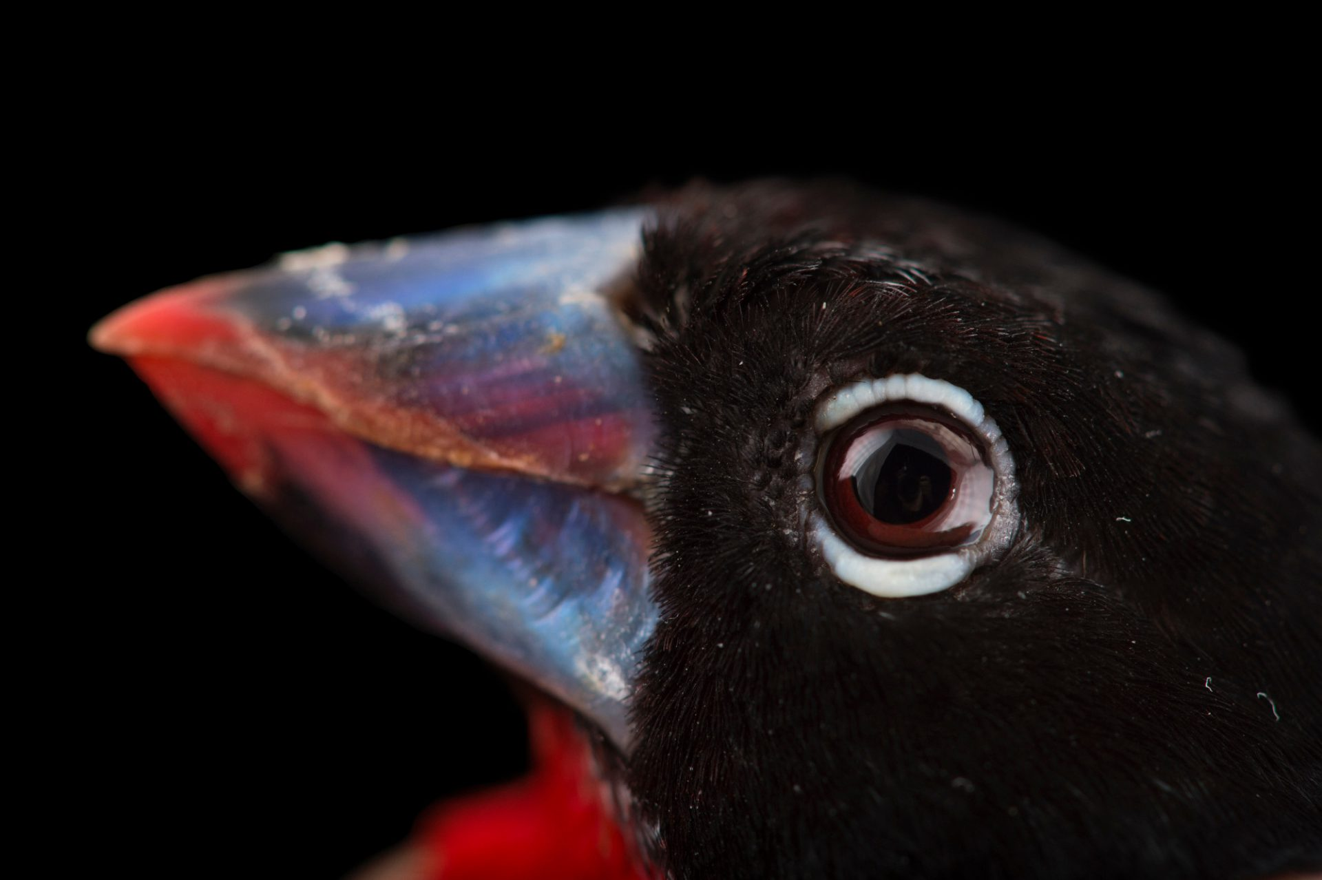 Picture of a Western Bluebill (Spermophaga haematina) at the Houston Zoo.