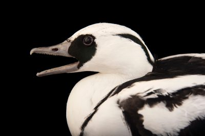 Photo: A smew (Mergus albellus) at the Houston Zoo.
