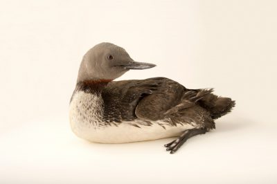 Photo: A red throated loon at Patuxent Wildlife Refuge Research Center.