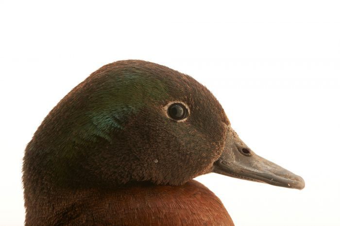 Picture of an endangered Campbell Island teal (Anas nesiotis) at the Kiwi Birdlife Park in Queenstown, New Zealand.