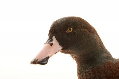 Picture of an endangered male blue duck (Hymenolaimus malacorhynchos) at the Kiwi Birdlife Park in Queenstown, New Zealand.