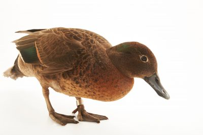 Picture of a brown teal (Anas chlorotis) at the Kiwi Birdlife Park.