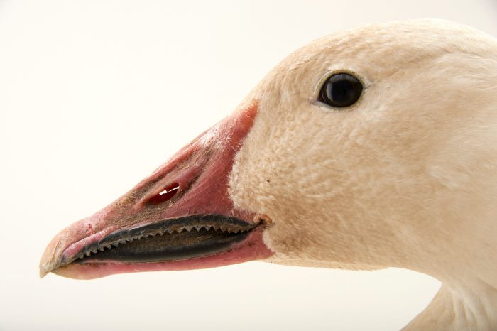 Picture of a lesser snow goose (Chen caerulescens caerulescens) at Sylvan Heights Waterfowl Park.